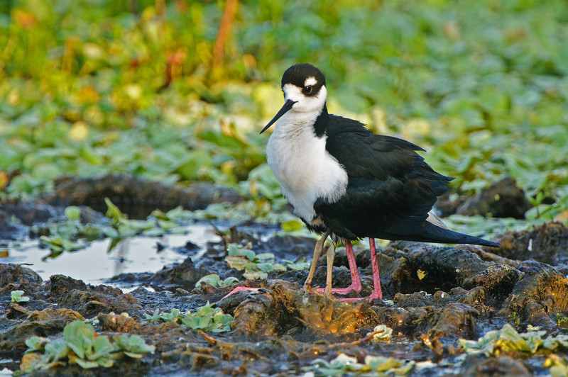 When you are only 10 days old, it is still nice to have dad for protection. (baby stilt hides under dad's breast)