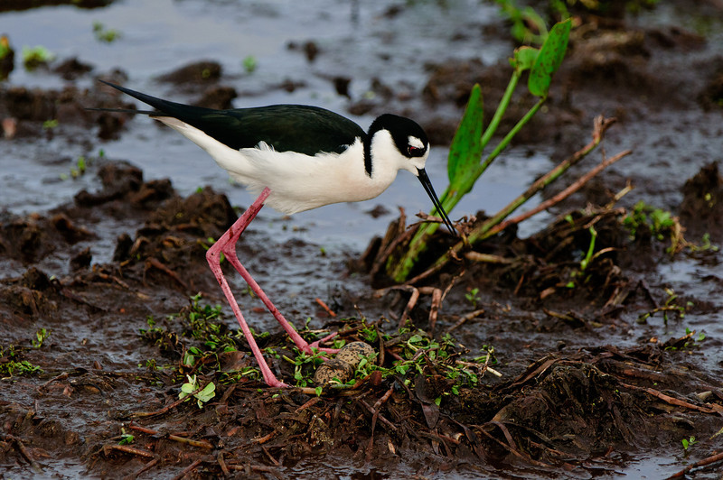 Black Necked Stilt watching over her eggs.