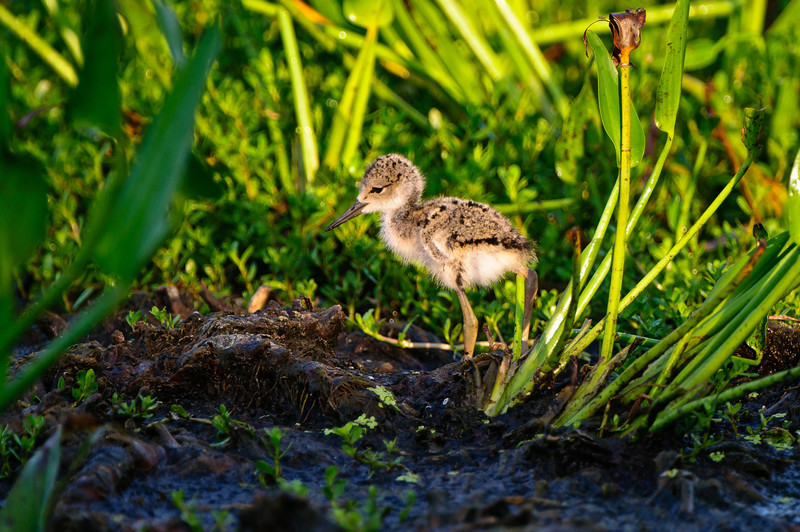 A ten day old stilt chick enjoys the first light of a new day.