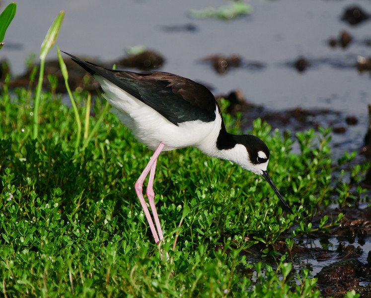 Female Black Necked Stilt (note the brown feathers on her back)