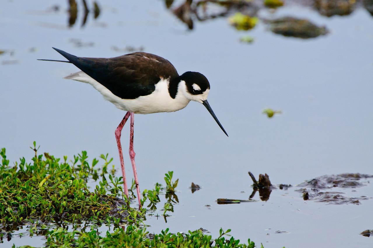 Female Black Necked Stilt searching for a nest site.