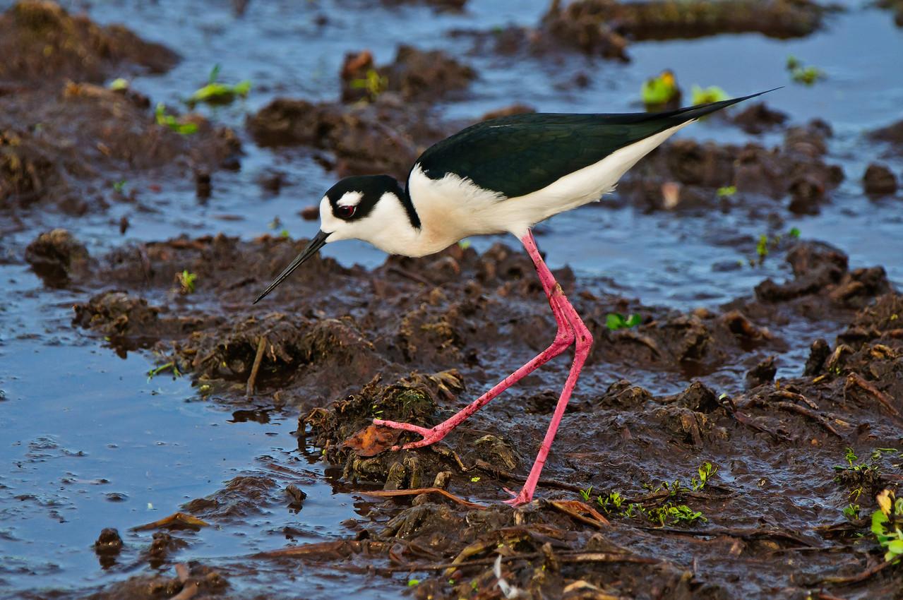 Male  stilt searching for nesting material.