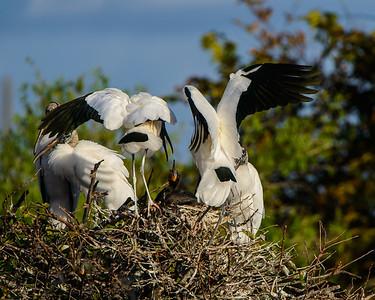Storks Attack Comorant