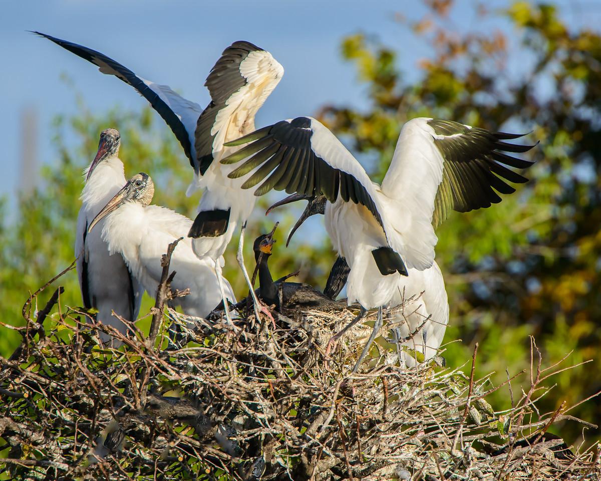 Wood Storks striking cormorant on her nest.