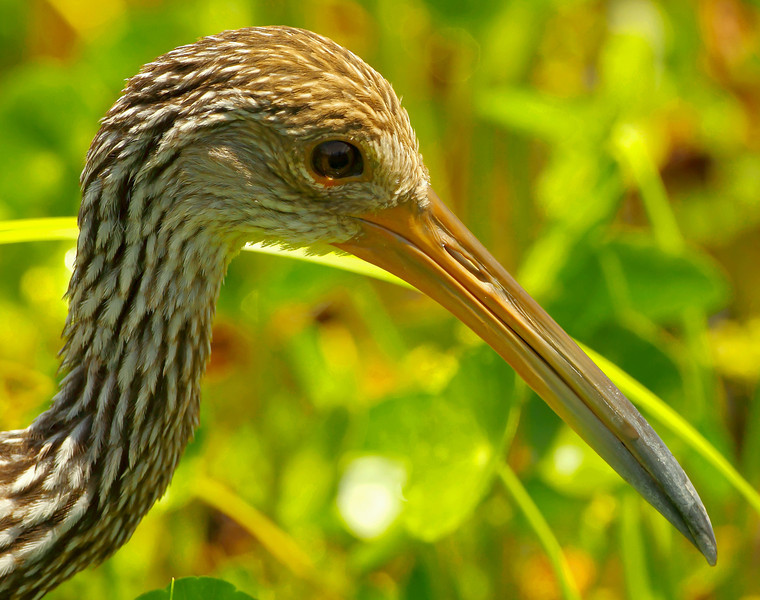 """Limpkins also occasionally """"pop up"""" and you usually hear them before seeing them.  They seem to be nervous."""