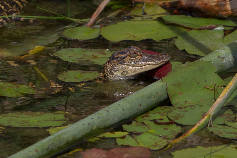 Gators have been around some 200 million years and this little hatchling can live up to 50 years.