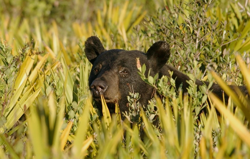 """I spotted this bear as he poked his head up and played """"peek-a-boo"""" among the palmetto bushes.  I believe him to be a male bear due to his size and stature."""