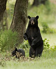 The largest of the three female bears seen in the same are, I'm wondering if she might be the matriarch of them all. My wife and I were entertained by her and her cub's antics as they climbed all the way to the top of the oak tree behind them.