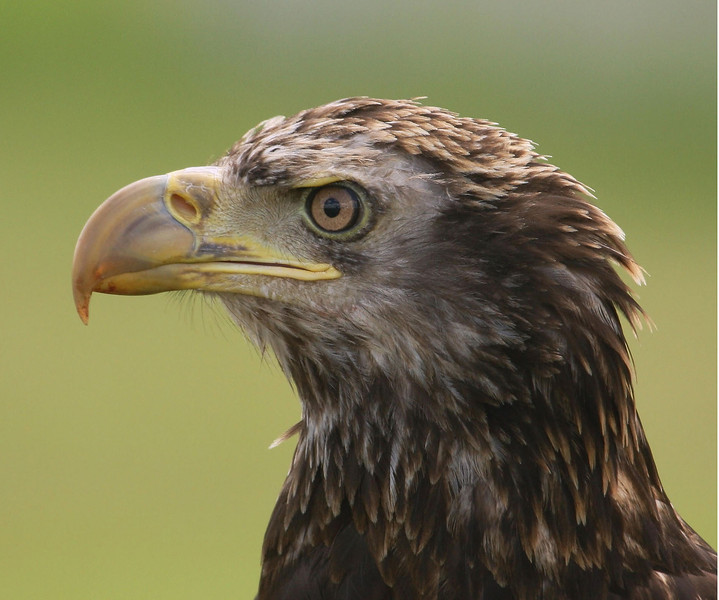 An immature bald eagle, a visitor at The Avian Reconditioning Center in Apopka, Florida