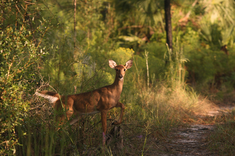 I startled this doe in Seminole State Forest and she responded with a few warning stomps of her hoof and then dashed off into the woods.