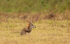 After the cranes walked away, this coyote sat down, scratched a bit, gave the cranes one last look and then trotted off into the tall grass.