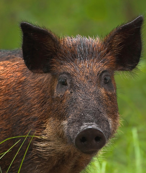 Snapped this sow's photo this morning 9/07/09 in Rock Springs Recreation Area. While she may be fearless, I can't quite say the same about me.
