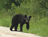 I took a picture of this young bear in the Spring of 2008.  Of all the bears I've seen, this one worried me the most.  When he saw me, he took a few steps towards me.  My heart pounded a little and then he turned and took off into the woods.