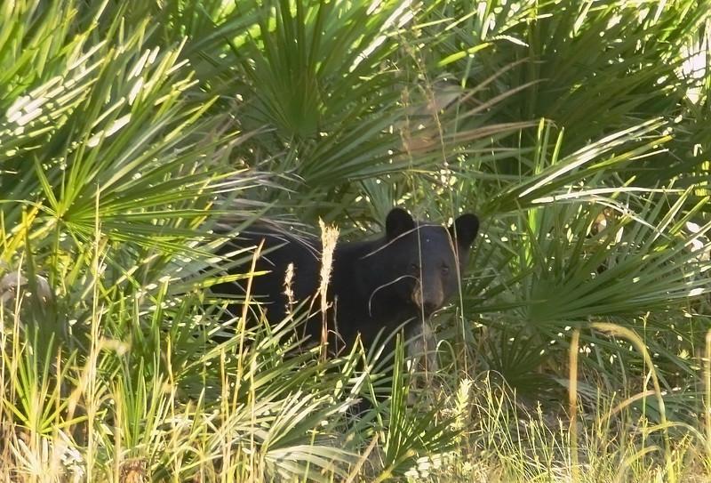Florida Black Bear seen in Wekiva Springs State Park on Dec. 7th, 2008