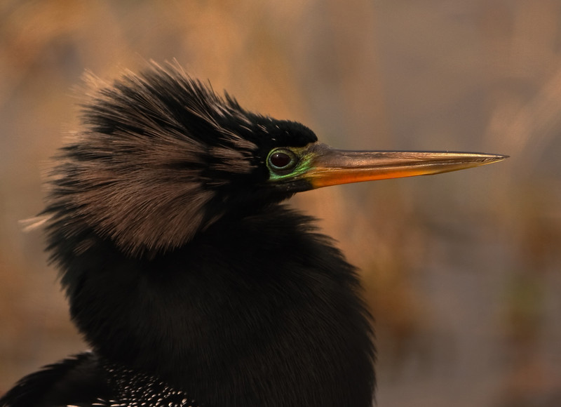 My wife took this photo of an  anhinga while visiting the Viera Wetlands.