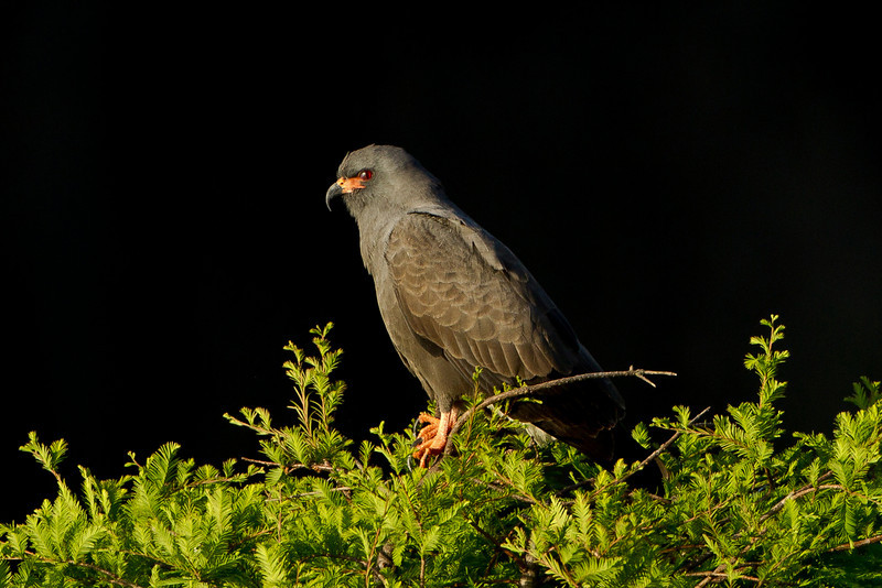 This is an endangered male Florida Snail Kite.  They estimate there are only about 700 Snail Kites left in the U.S.  This photo was taken on 5/1/2011.