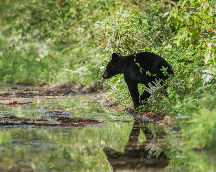 A little black bear crossing Janes Scenic Drive in the Fakahatchee Strand.