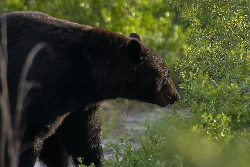 I spotted this guy on the trail today, 6/6/09, looks like he might have been rolling around in the sand.  It was my first bear sighting in 6 months, so it is always a thrill to see them in their natural environment.