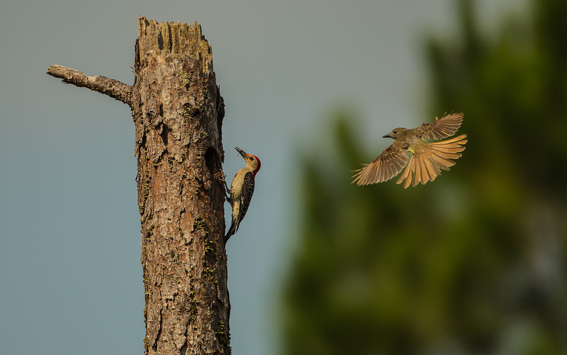 This Great Crested Flycatcher and Red-Bellied Woodpecker are sharing nesting spots not more than 10 yards from each other.  The flycatcher goes in for the attack any time the woodpecker flies in to feed its young. 6/30/12