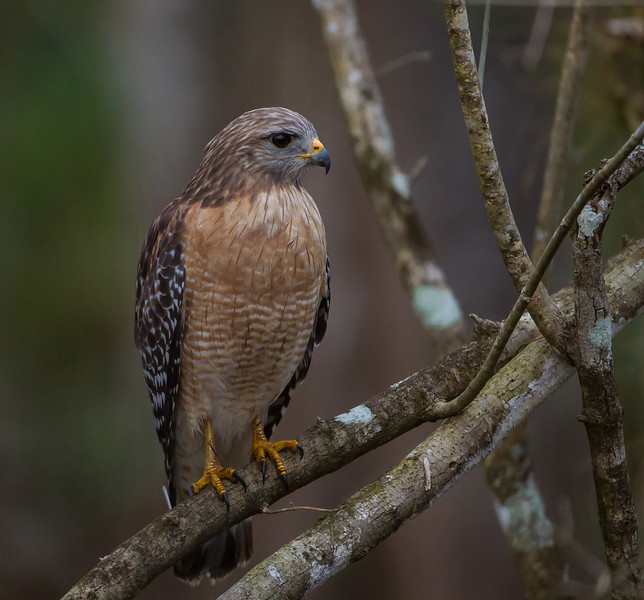 The Red-shouldered Hawks hunting in the Fakahatchee Strand are some of the most aggressive hawks I've seen.  I saw one try to take an Ibis out of a tree and another one take a Green Heron.