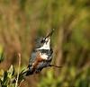 Male Kingfisher - Black Hammock Wildlife Drive - Merritt Island National Refuge