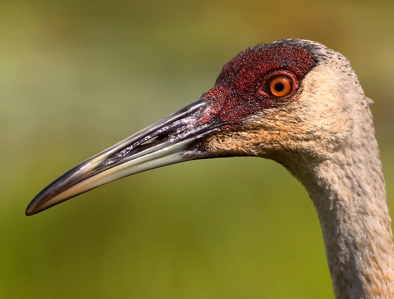 """I was sitting near a bog waiting for a photo of some wood ducks. They never showed, but this young Sandhill Crane did stop by with his folks. I made several requests for them to do something remarkable; jump, """"shake your tail feathers"""", catch a nice big bug, anything, but then it dawned on me, simply being was remarkable enough."""