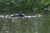 Kayaking with the gators on the Wekiva River.