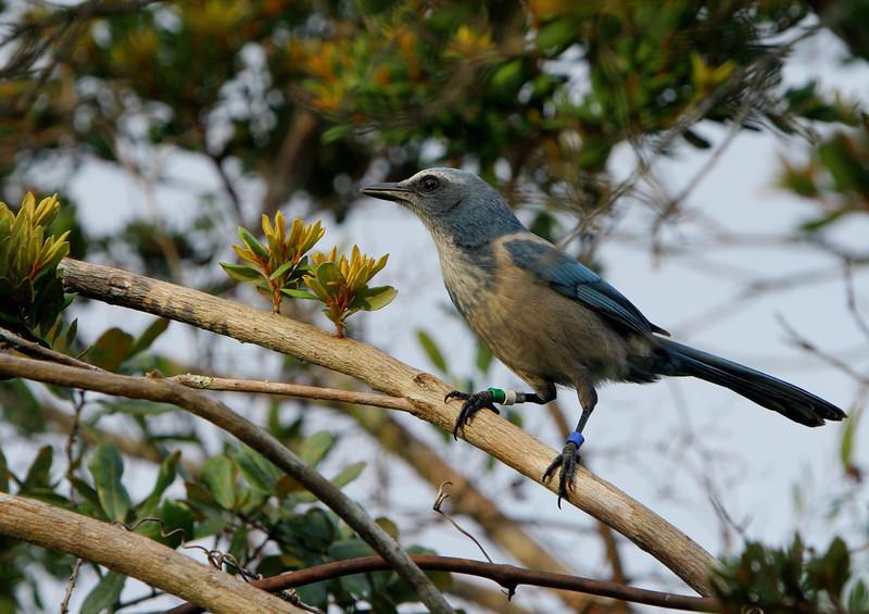 Threatened Florida Scrub Jay observed week of Dec. 8th, 2008