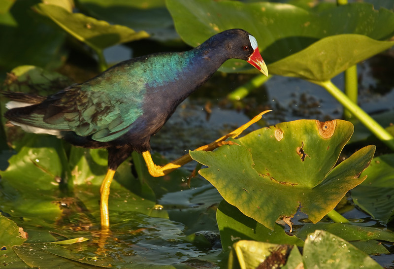 My wife took this photo of a colorful purple gallinule.