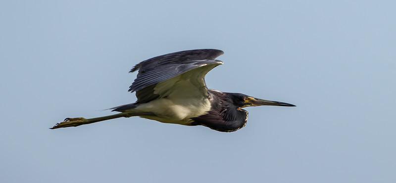 Tri-colored heron in flight taken at Lake Jackson in Three Lakes Wildlife Management Area.