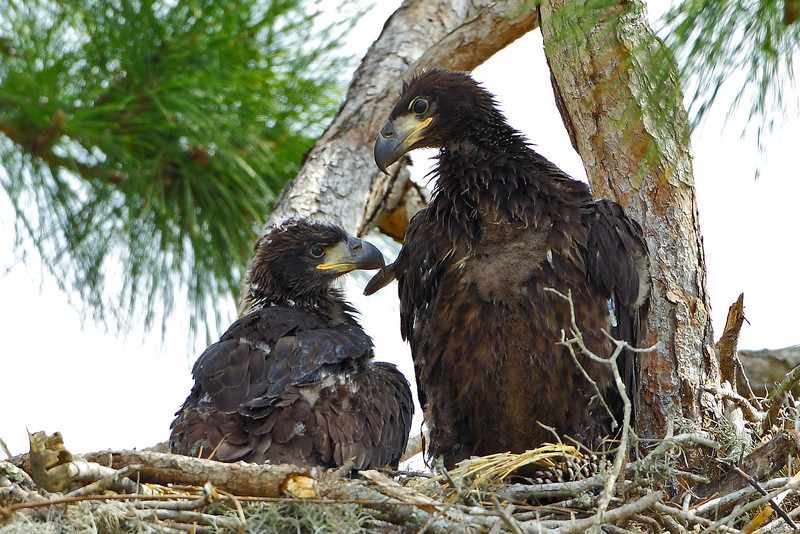 """Today, 2/19, I returned to this nest after photographing these eaglets last weekend, 2/12. The little guy really seemed to show some growth as the larger sibling gives him/her, an, """"eagle"""", eye.  I don't know if I'll make it back, so I wish them well. This nest is by Lake Jackson."""