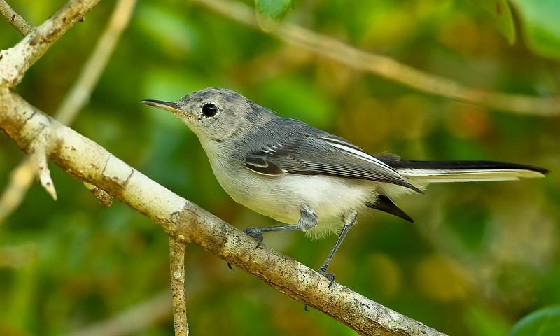 Female Blue Gray Gnatcatcher