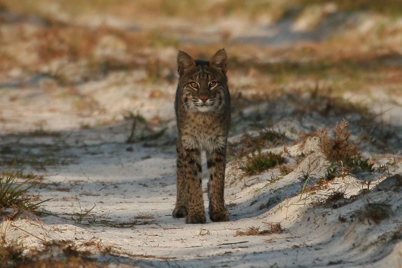 I spotted this Florida Bobcat about 1/2 mile down a service road and much to my amazement, he continued to walk towards me and only stopped when he heard the snap of my shutter.