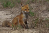 Little red fox,  Florida.