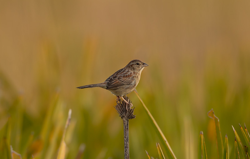 Bachman's Sparrow in Kissimmee Prairie Preserve State Park