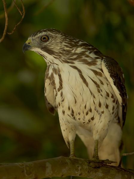 Hawk on the Fakahatchee Strand.