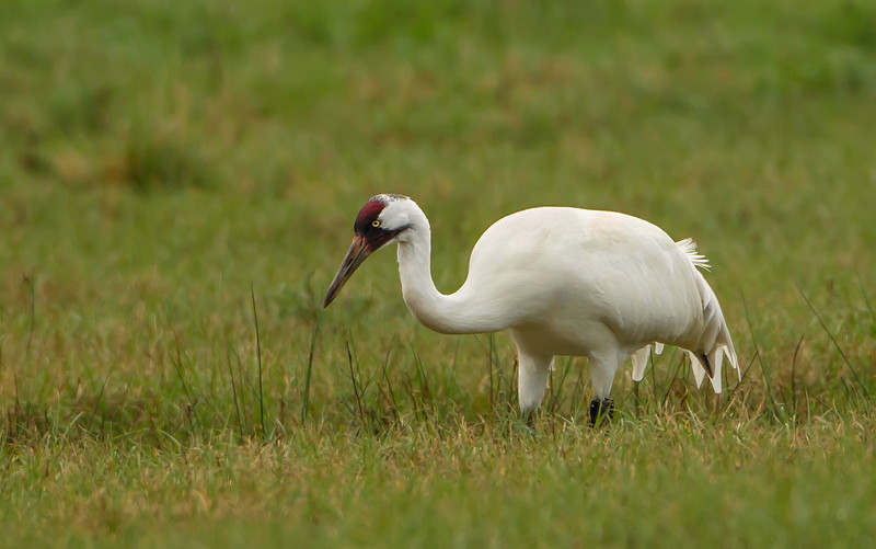I had the opportunity today, January 20, 2013, to photograph one of the non-migratory Whooping Cranes left in Florida.  It is my understanding there are only about 20 still living in Florida. They are incredibly difficult to photograph due to the fact they are almost pure white and this bird was at least 50 yards away.  It was a thrill to see such a truly rare bird!