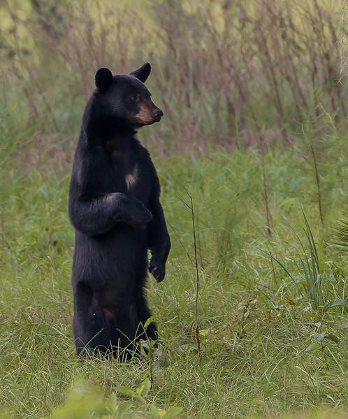 As stated in my previous photo's caption, this is Sow #2.  She was standing to get a perimeter view of where some of the other bears had been congregating.