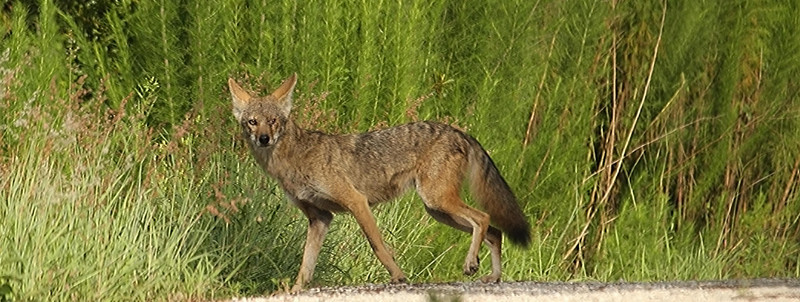 I captured this photo of a coyote while sitting on the side a service road that borders the forest.  He and another coyote came out from the adjacent property where gunfire had just been heard.  This caused me some concern as I believe they may have been the intended targets, but felt relief when I saw them a little later further down the road.  They appeared to have escaped the hunters this day.