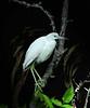 Immature Blue Heron