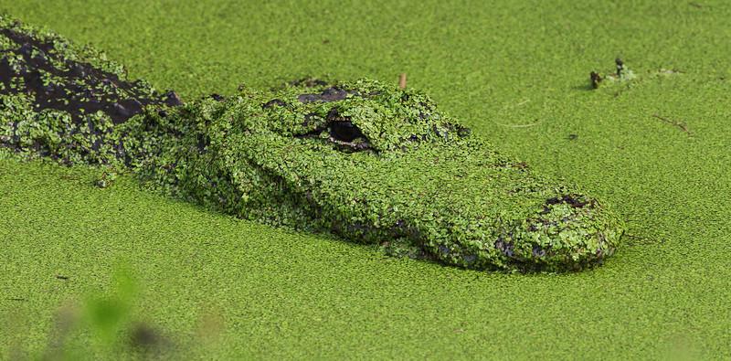 Mama Gator covered with algae - Biolab Road, Merritt Island