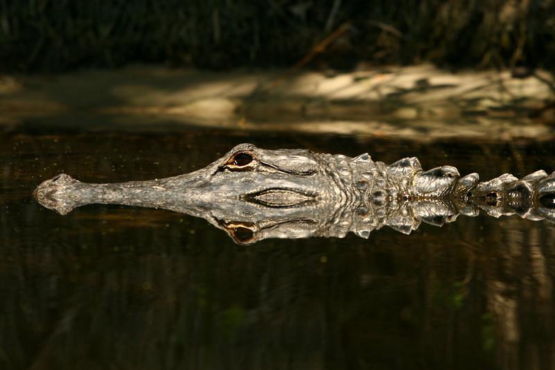 Wekiva River gator reflection, Florida.