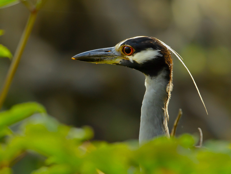 Night herons are one of the many faces that pop up along the Wekiva River.
