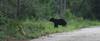 Young Florida Bear.