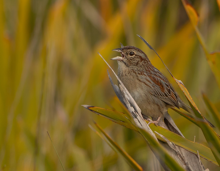 Bachman's Sparrow singing away in the morning light at Kissimmee Prairie Preserve State Park