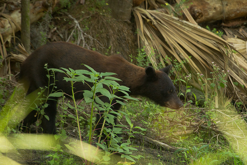 Took a picture of this yearling black bear as he was headed down to the creek to get a drink and I can't recall ever seeing one quite so brown. We were on the other side of the creek, maybe about 20 yards downstream and he could smell us, but was having a hard time finding us, even though our 16 foot bright yellow kayak should have been a dead giveaway!  Taken on Aug. 7, 2011.