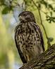 Juvenile Broad-winged Hawk