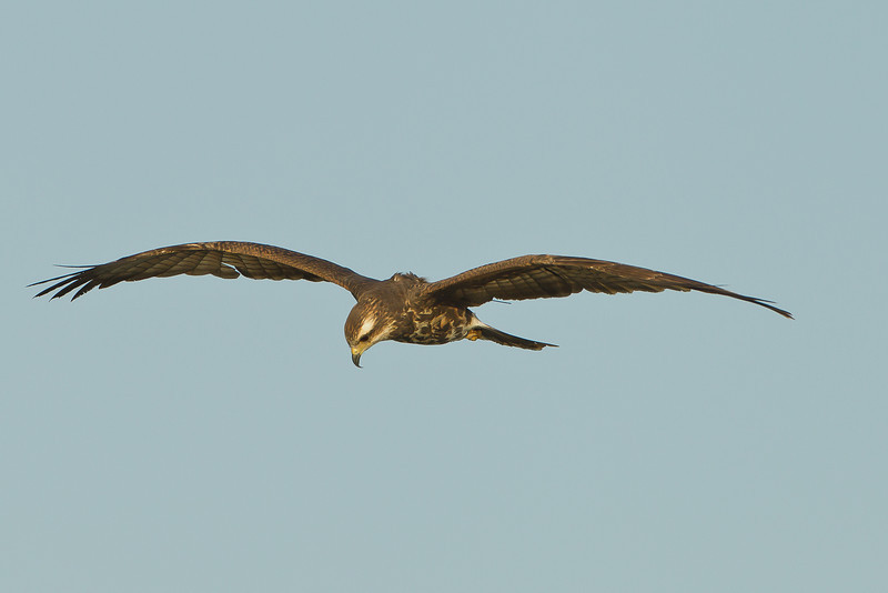 Female Snail Kite with science on her back.  It looks like some type of tracking device has been attached between her shoulder blades and if you look closely, you can see the antenna sticking out the back of her left wing.