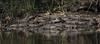 Wild gators down in the Glades