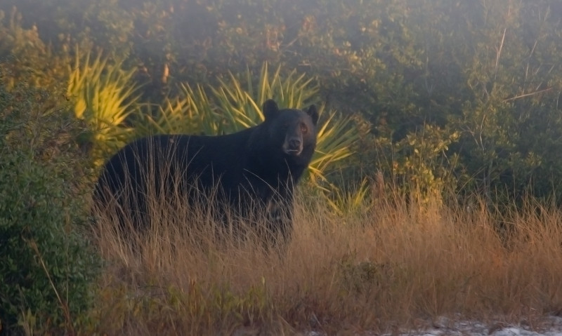 """""""Bruno"""" the bear at dawn. Bruno lingered in this area of the forest for a few weeks and one thing I noticed about him is that he always looks both ways before crossing a trail.  I can only hope this habit will keep him safe."""